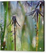 Dandelions Close-up Acrylic Print