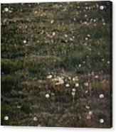 Dandelions From Foot To Far Acrylic Print