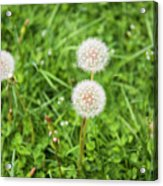 Dandelions In Connecticut Acrylic Print