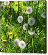 Dandelions On The Maryland Appalachian Trail Acrylic Print
