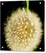 Dandelion's Seed Head. Acrylic Print