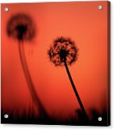 Dandelions Silhouettes At Sunset Acrylic Print