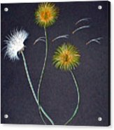 Dandelions1 Acrylic Print