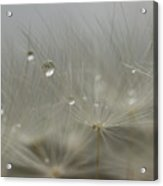 Dandy Dew Two 2 Acrylic Print