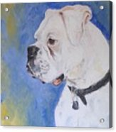 Danger The White Boxer Acrylic Print