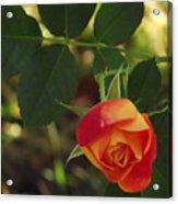 Dangling Rose Acrylic Print