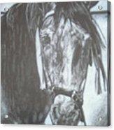 Dapple Andalusian Acrylic Print