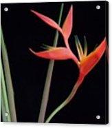 Daring Heliconia Acuminata Acrylic Print
