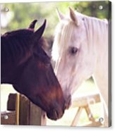 Dark Bay And Gray Horse Sniffing Each Other Acrylic Print by Sasha Bell