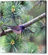 Dark-eyed Junco On A Pine Tree Acrylic Print