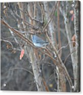 Dark Eyed Junco Perched On Tree Limb Acrylic Print