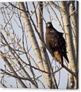 Dark-morph Western Red-tailed Hawks Acrylic Print