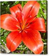 Dark Orange Red Lily II Acrylic Print