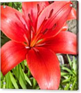 Dark Orange Red Lily Acrylic Print