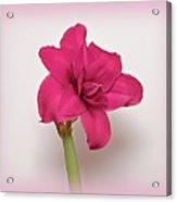 Dark Pink Amaryllis Acrylic Print