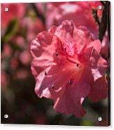 Dark Pink Azalea Acrylic Print