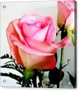 Dark Pink Tipped Roses Acrylic Print