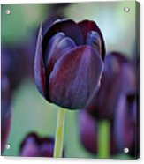 Dark Purple Tulip Acrylic Print