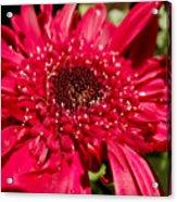 Dark Red Gerbera Daisy Acrylic Print