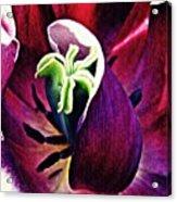 Dark Tulip Macro Acrylic Print