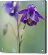 Dark Violet Columbine Flowers Acrylic Print