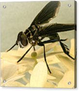 Dark Winged Comb Footed Fly Acrylic Print