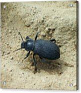 Darkling Beetle In Sand Acrylic Print