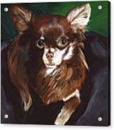 Darla Chihuahua  Acrylic Print