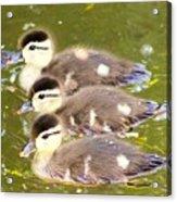 Darling Ducklings  Acrylic Print