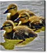 Darling Ducks Acrylic Print