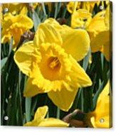 Darling Spring Daffodils Acrylic Print