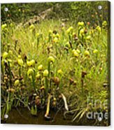 Darlingtonia Plants Grow Beside Acrylic Print