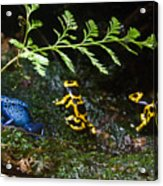 Dart Frogs On The Move Acrylic Print