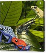 Dart-poison Frogs - Poison-dart Frogs Dendrobatidae - Baumsteiger Frosch - Pijlgifkikkers Acrylic Print