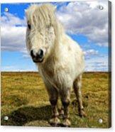 Dartmoor Pony Acrylic Print