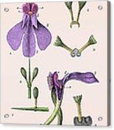 Darwins Orchis Pyramidalis, Illustration Acrylic Print