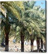 Date Palms Acrylic Print