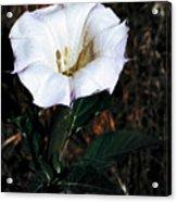Datura Blossum Acrylic Print