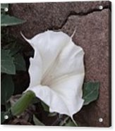 Datura. Flower Acrylic Print