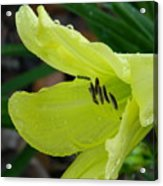 Day Lily And Raindrops Closeup Acrylic Print