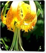 Day Lily Sphere Acrylic Print
