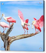 Day Of The Spoonbill  Acrylic Print