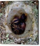 161549 Day Old Hummingbird Babies Acrylic Print