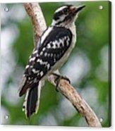 Daydreaming Downy Woodpecker Acrylic Print