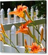 Daylilies On Picket Fence Acrylic Print