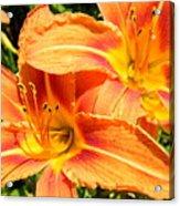 Daylillies In Bloom Acrylic Print