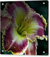 Daylily Collection # 13 Acrylic Print