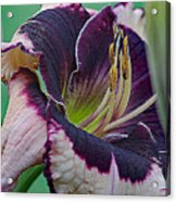 Daylily Collection #12 Acrylic Print