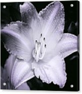 Daylily Flower With A Tint Of Purple Acrylic Print