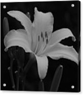 Daylily In Black And White Acrylic Print